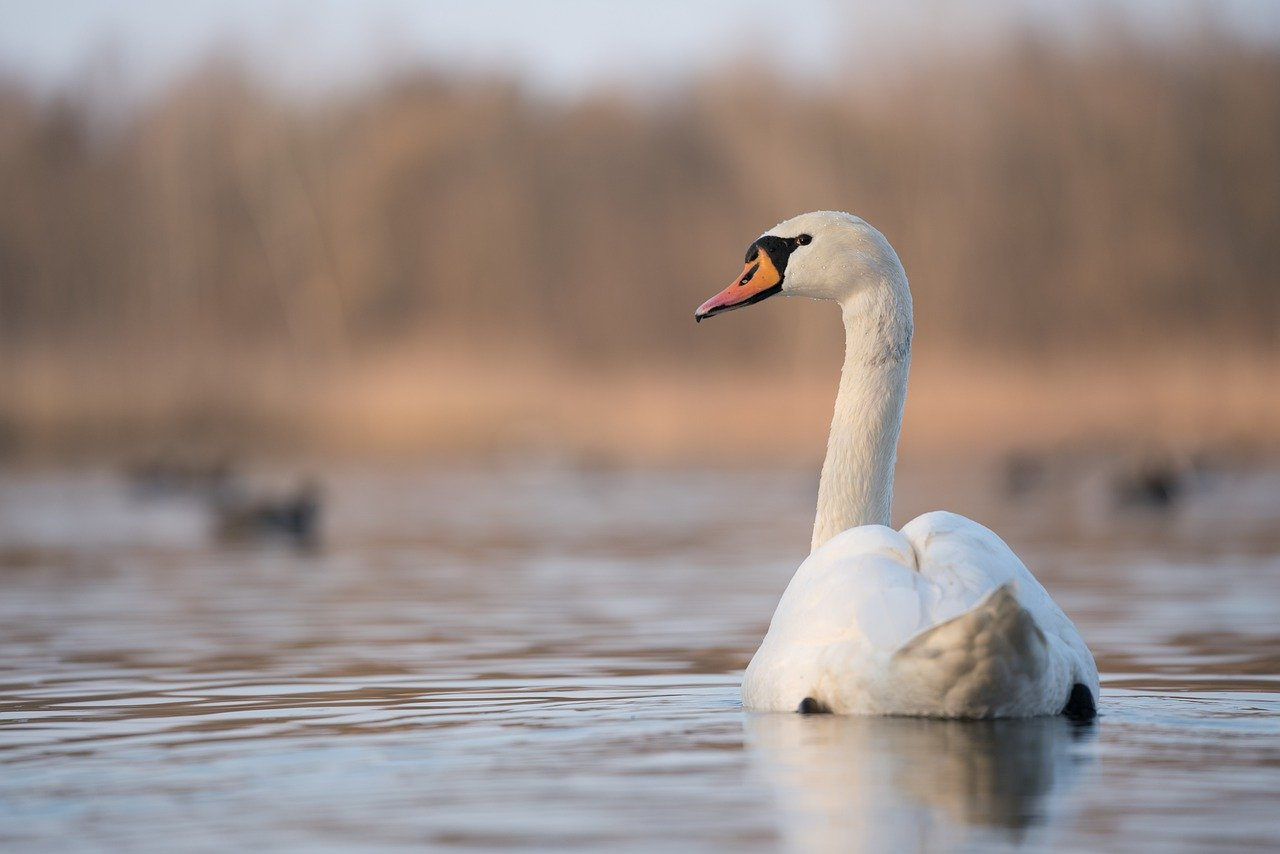 A close up on a swan, swimming on a small lake